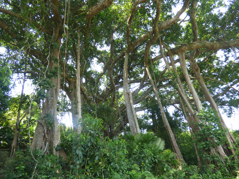 banyan-tree-monkey-mountain
