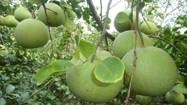 thuy bieu village - grapefruit